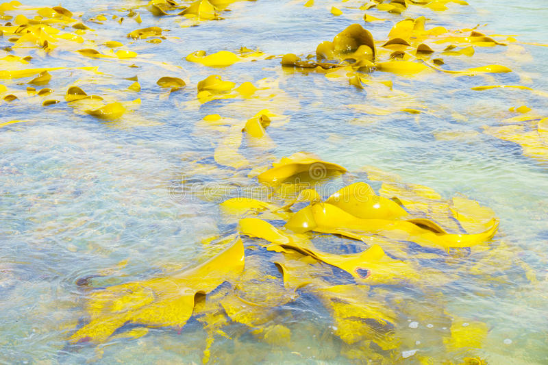 Giant kelp at Stirling Point, South Island. stock photography