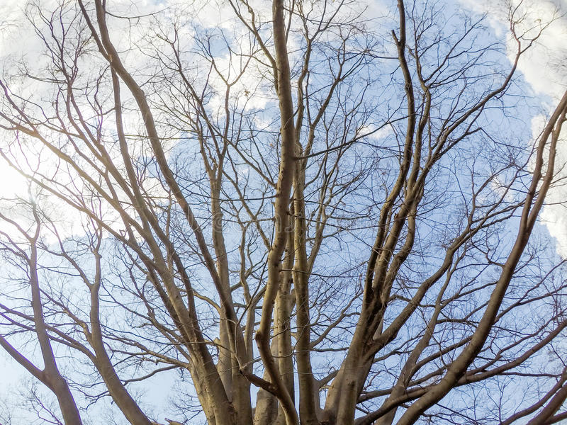 Giant keyakiJapanese zelkova with blue sky background at Showa Kinen KoenShowa Memorial Park,Tachikawa,Tokyo,Japan in spring. Showa Memorial ParkShowa Kinen stock images