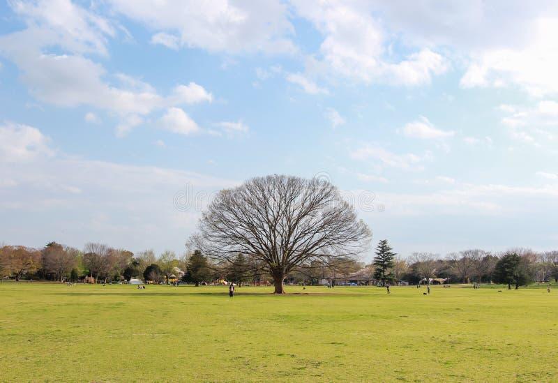 Giant keyakiJapanese zelkova with blue sky at Showa Kinen KoenShowa Memorial Park,Tachikawa,Tokyo,Japan in spring. Showa Memorial ParkShowa Kinen Koen is a park stock images