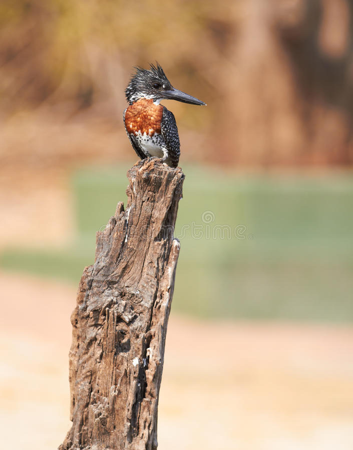 Download Giant Kingfisher Royalty Free Stock Photo - Image: 22497885