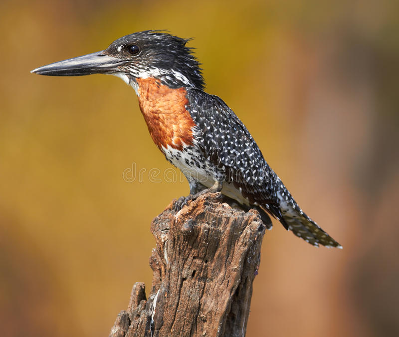 Download Giant Kingfisher stock photo. Image of safari, saharan - 22498016