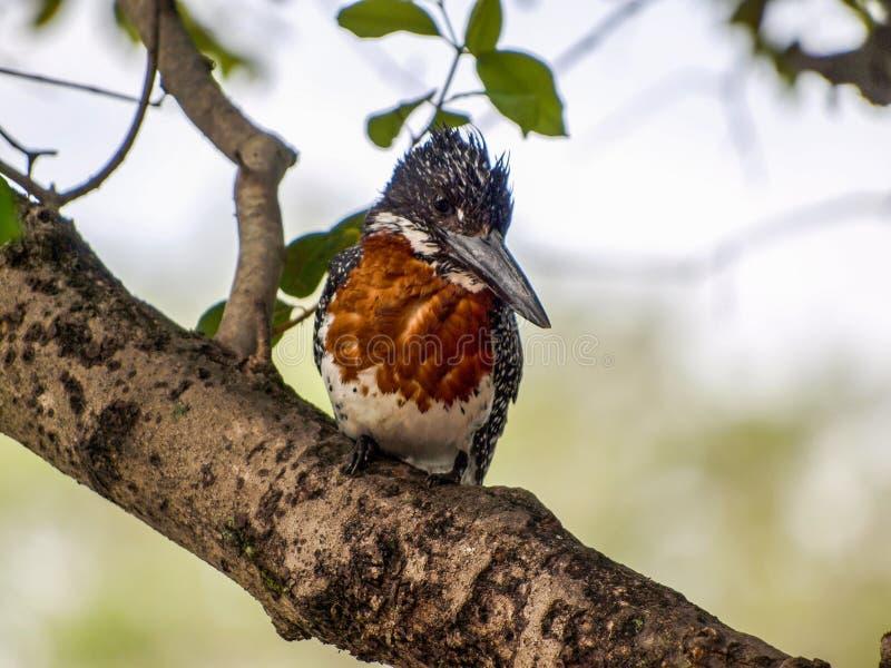 Giant kingfisher stock images