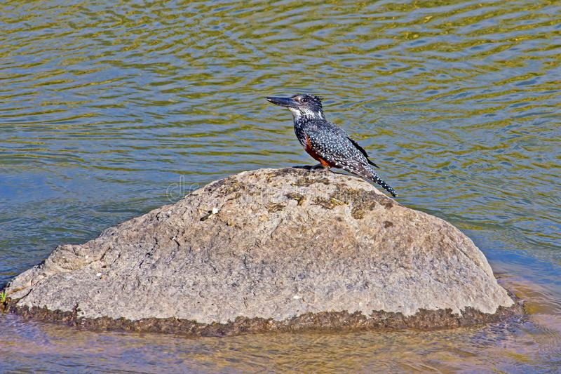 Giant Kingfisher bird on rock in river stock photo