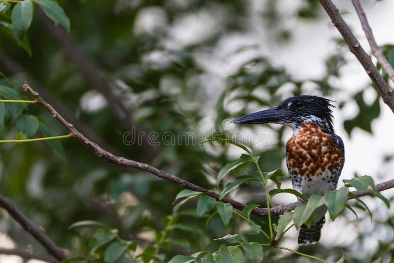 Giant Kingfisher Bird Tree Royalty Free Stock Photography