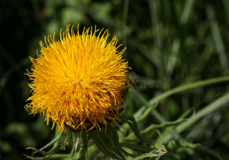 Giant Knapweed Bighead Yellow Flower royalty free stock images
