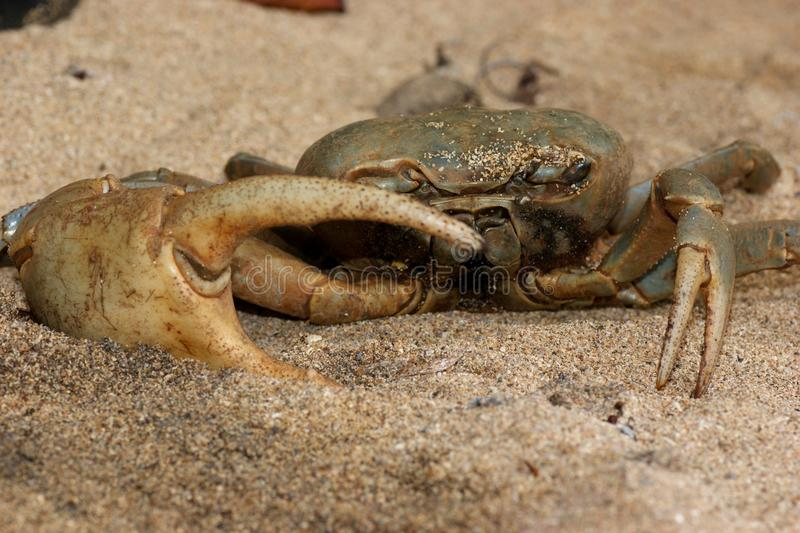 Download Giant Land Crab stock photo. Image of central, costa - 26533970