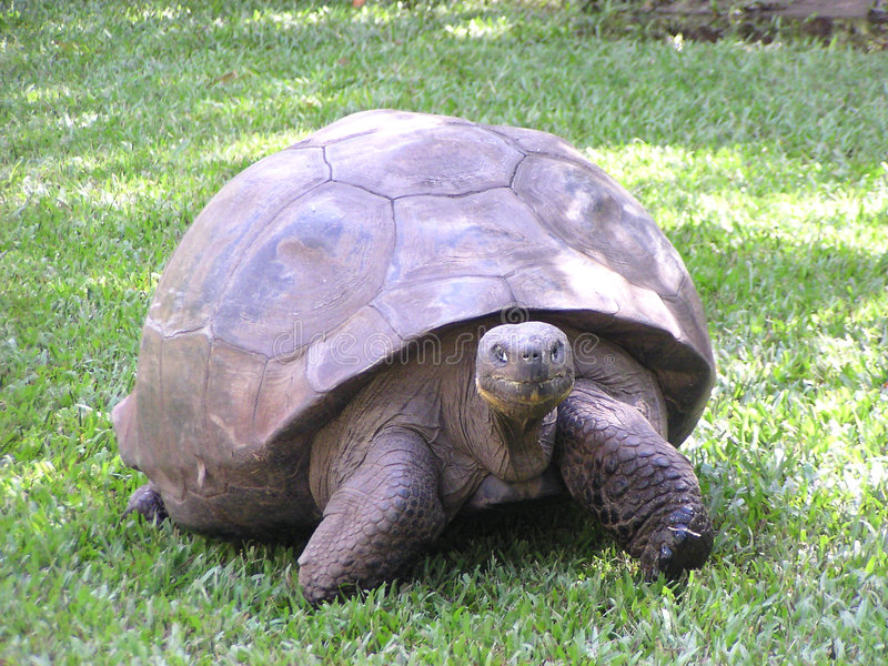 Download Giant Land Tortise stock photo. Image of giant, land, hunted - 17058