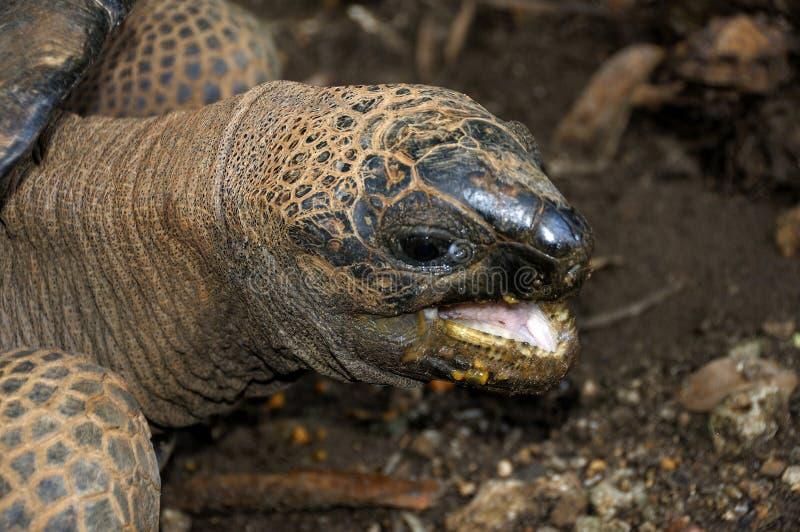 Giant land tortoise stock images
