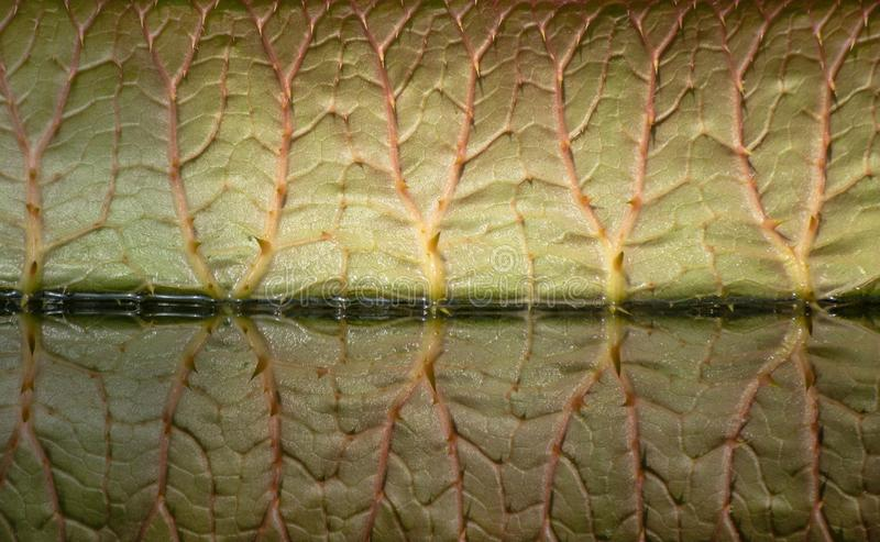 A giant leaf of Victoria amazonica and its reflection in a pond. Side view. stock image