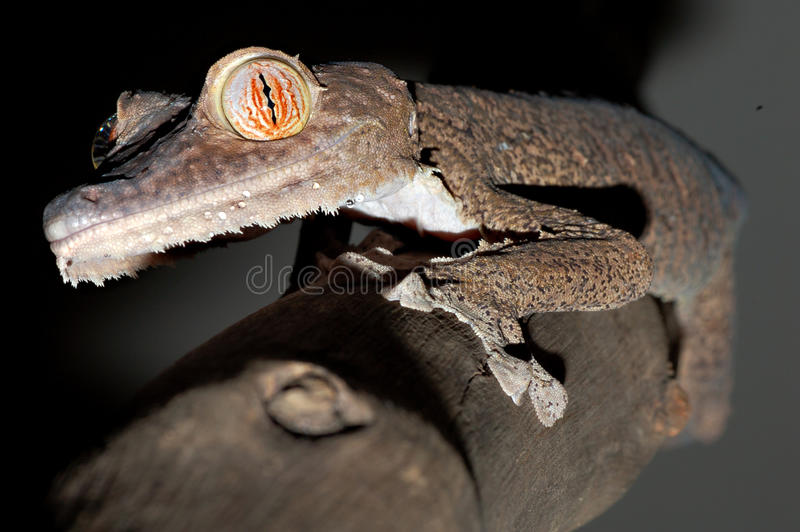 Giant leaftail gecko climbing a branch