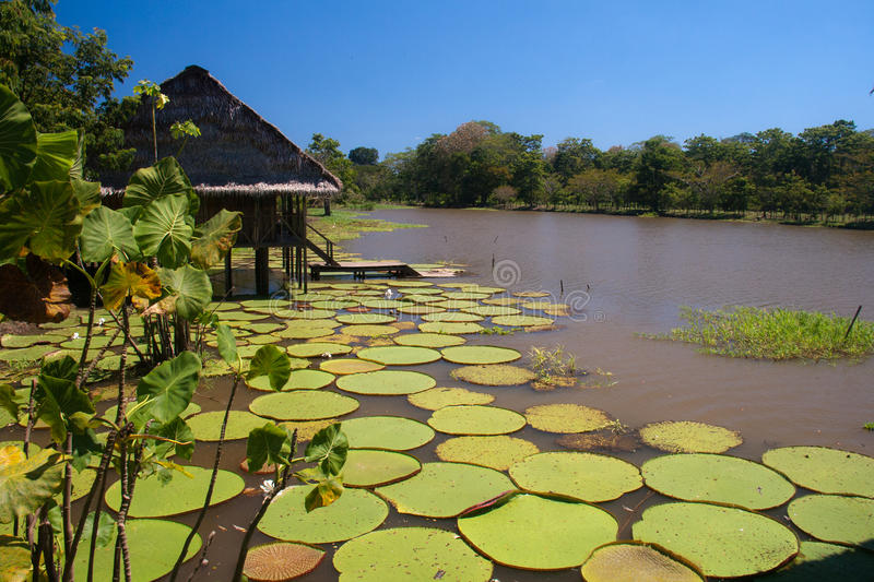 Giant lillies in the Amazonas, Colombia stock photo