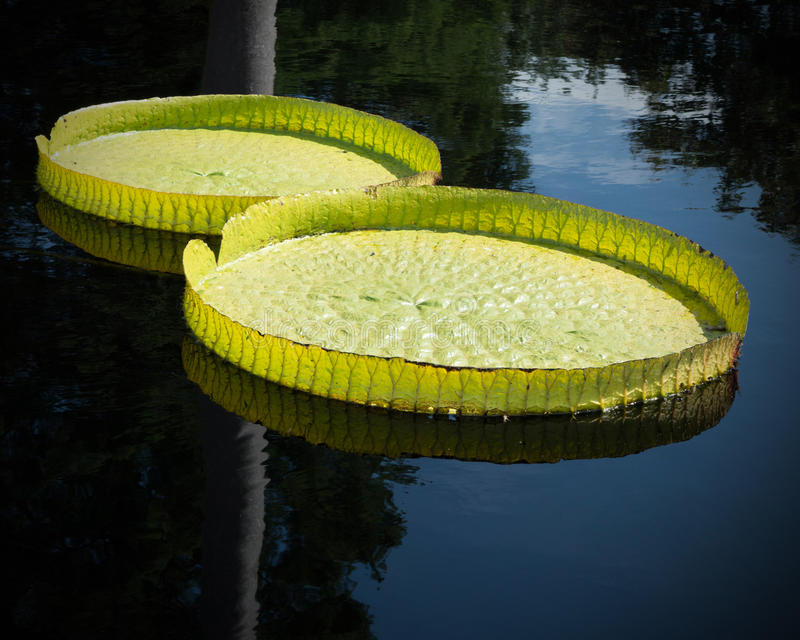 Giant Lily Pads stock image