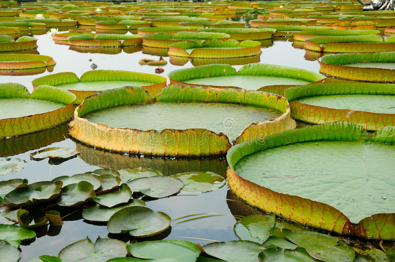Giant Lily Pads stock images