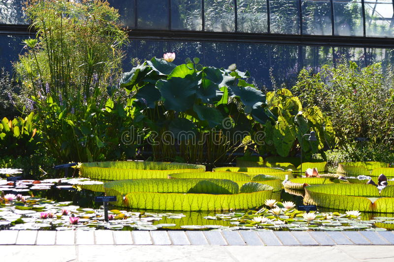 Giant lilypads stock photography