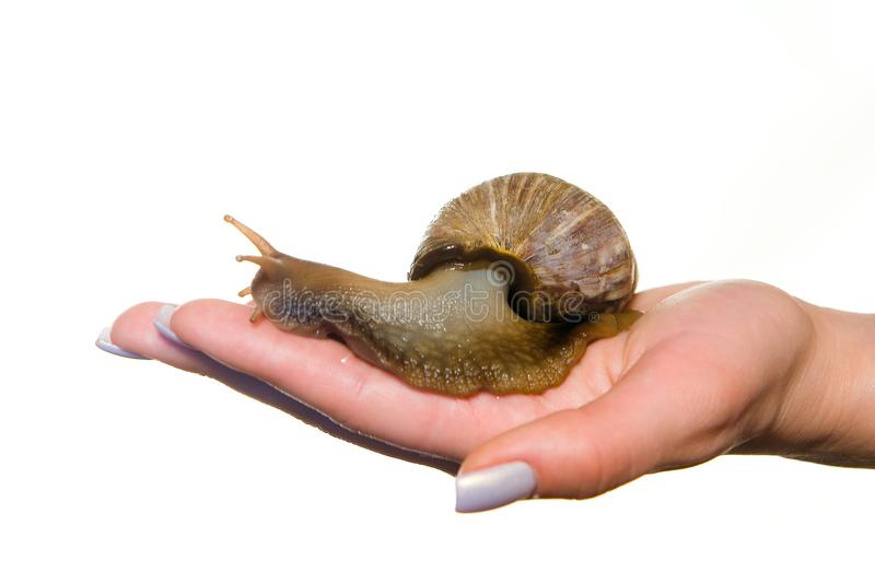 A giant live snail with a shell on a beautiful female palm. royalty free stock image