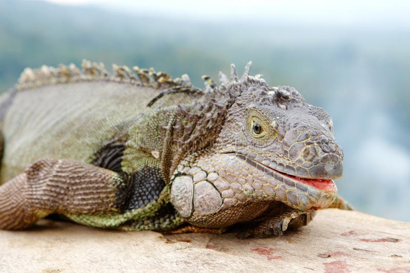 Download Giant lizard stock image. Image of catchlight, mouth - 13461203