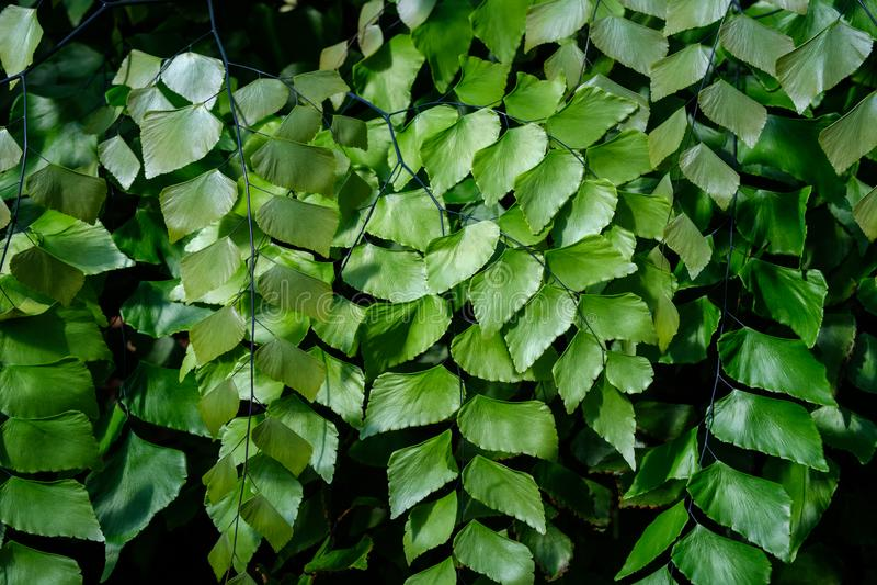 Giant Maidenhair or Diamond Maidenhair Fern, Adiantum trapeziforme stock photography