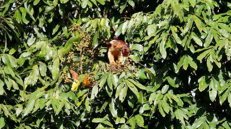 Giant Malabar Squirrel. The Giant Malabar Squirrel is found in the Nilgiri Mountain and Malabar mountain range of South India stock images
