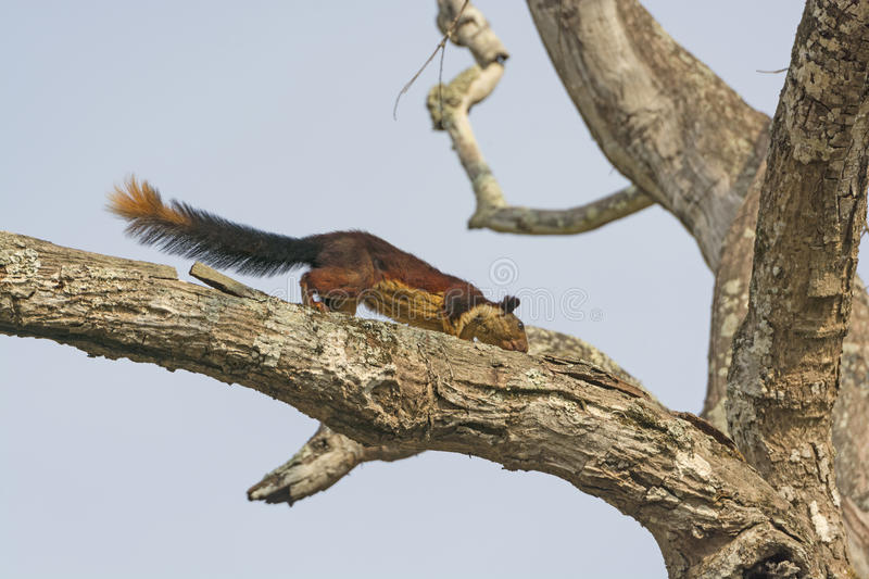 Giant Malabar Squirrel in a tree. In Nagarhole National Park in India stock photo