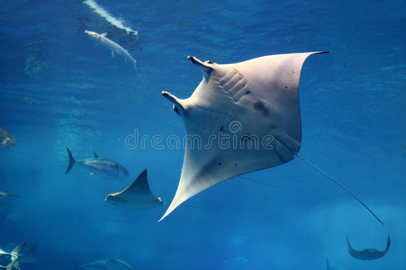 Giant mantay swimming on its back royalty free stock photos