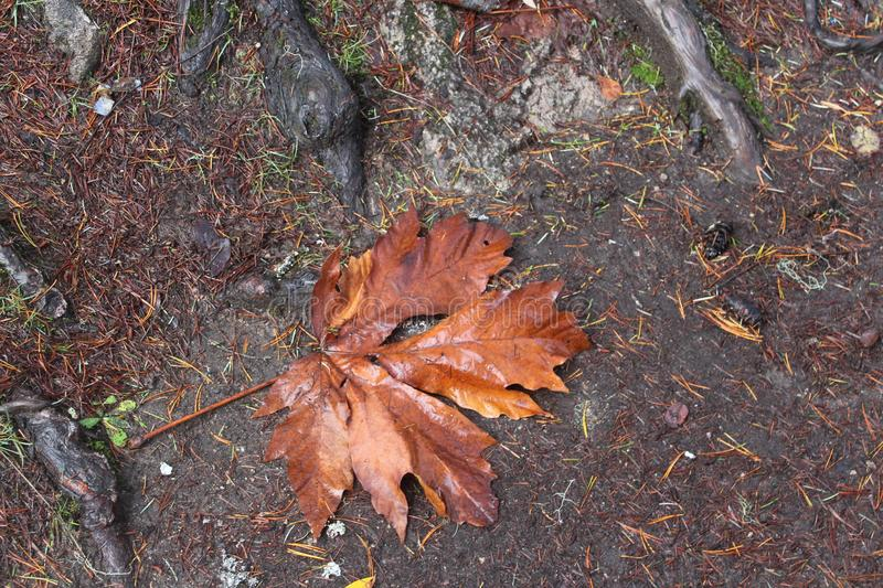 Giant Maple Leaves at Qualicum Beach royalty free stock photos