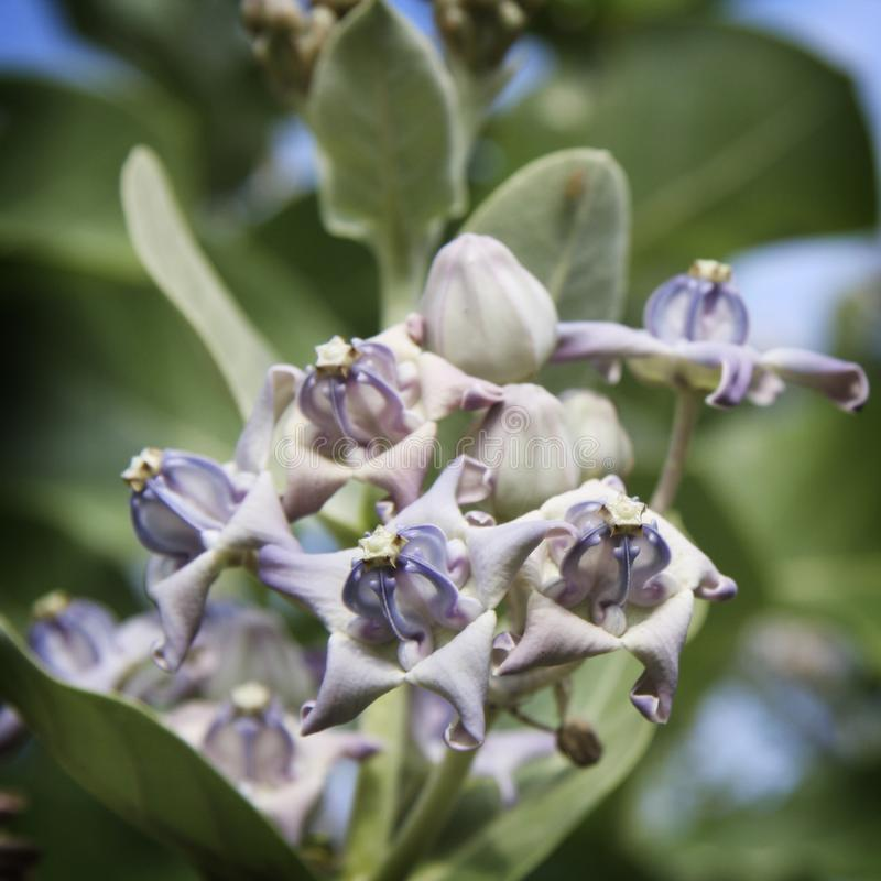 Giant Milkweed blossoms with purple and green colors royalty free stock photography
