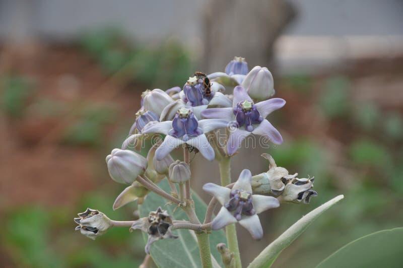 Giant Milkweed Flower Calotropis gigantea royalty free stock photo
