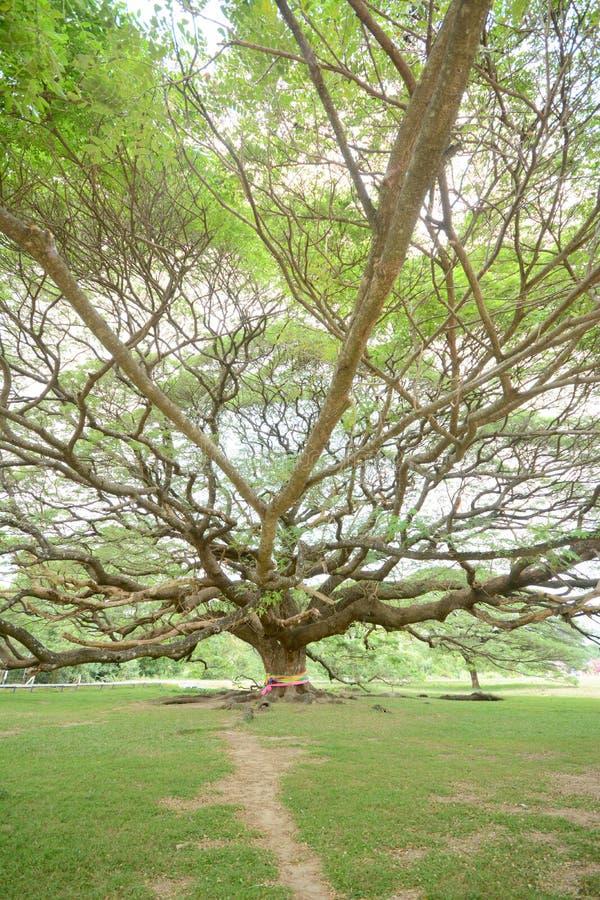 Giant monkey pod tree. With horse at Kanchanaburi Thailand stock photography