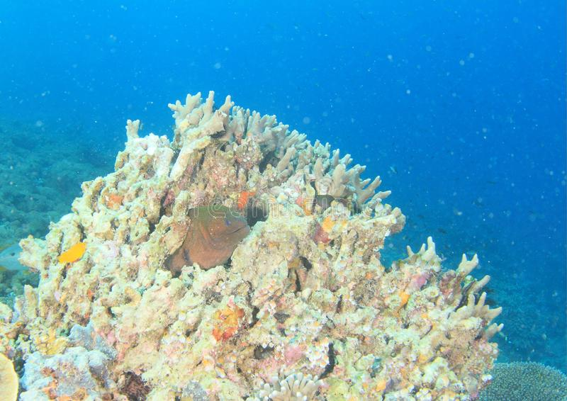 Giant moray on coral reef in Raja Ampat. Giant moray, Gymnothorax javanicus - fish hiding in coral reef with staghorn and other corals with blue sea behind in stock photo