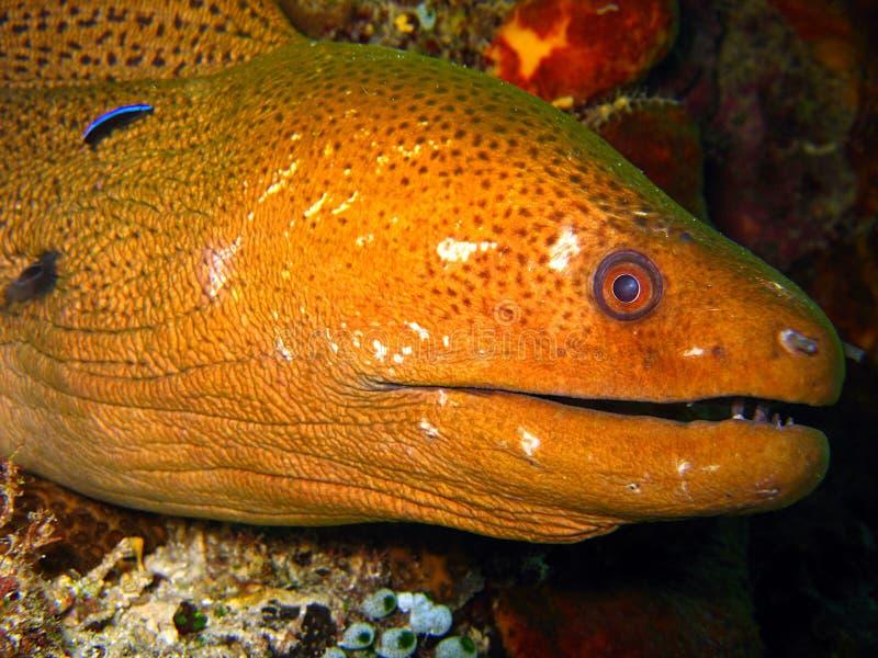 Giant Moray Eel stock photography