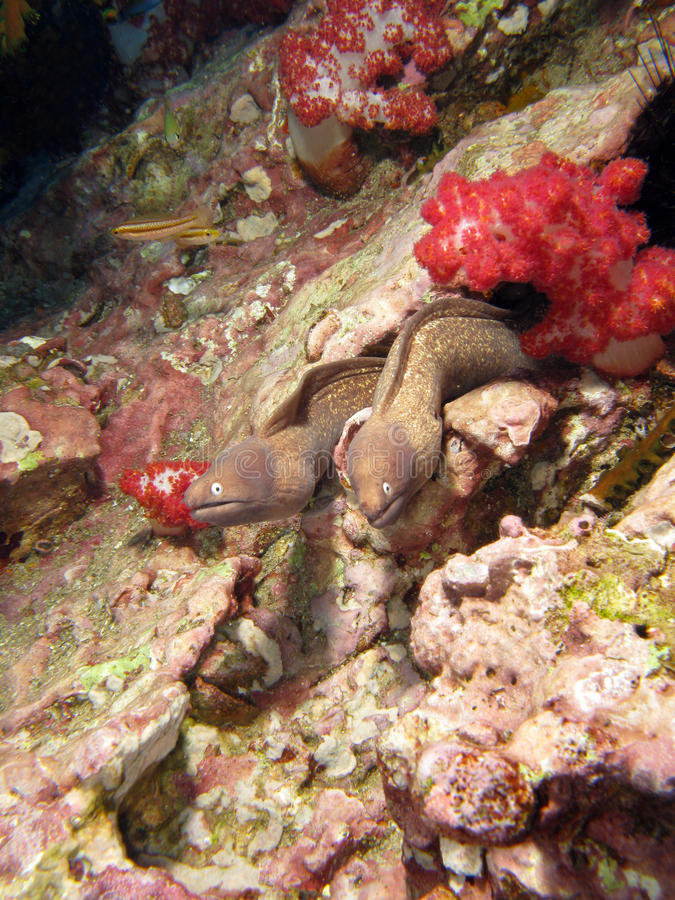Giant Moray Eel couple. Coming out of the corals royalty free stock photo
