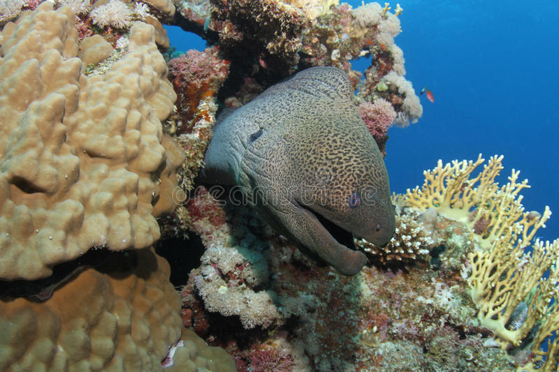 Giant moray eel hiding in tropical reef. In the Red Sea royalty free stock images