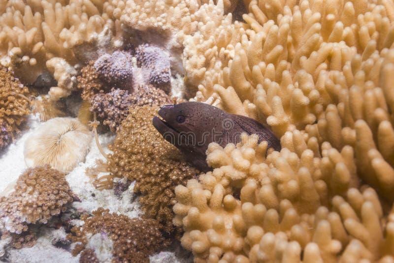 Giant moray eel at Lipe island stock photos