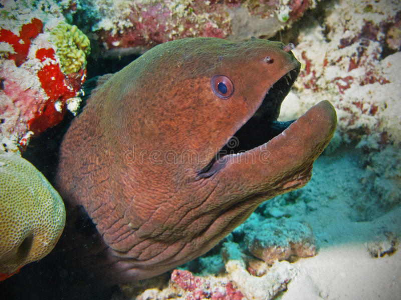 Download Giant Moray Eel In Maldives Stock Image - Image: 19806325