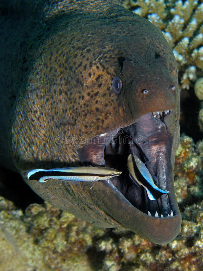 Free Giant Moray - Gymnothorax Javanicus Being Cleaned Stock Image - 19988171
