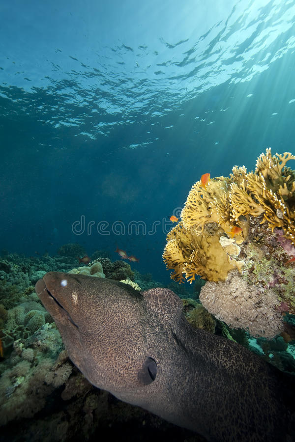 Giant moray and ocean