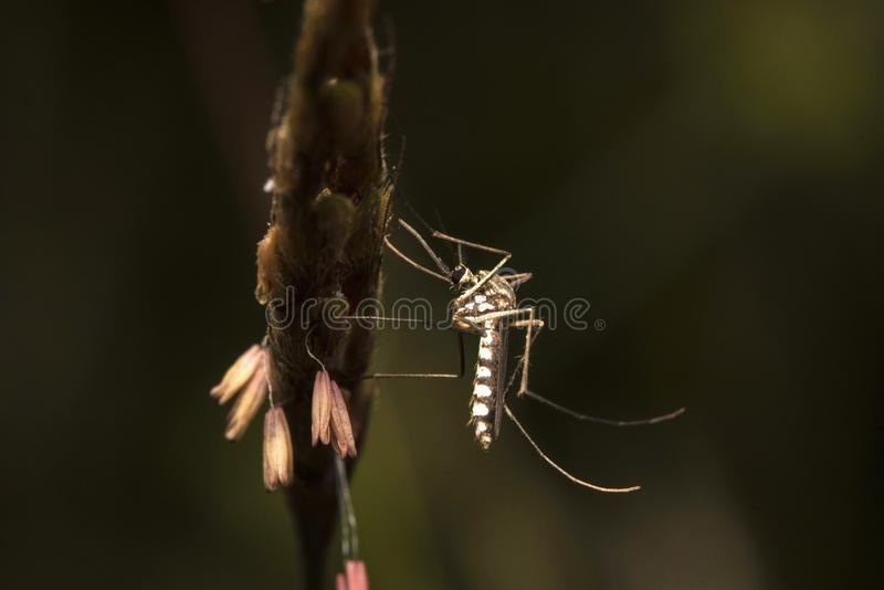 Giant mosquito, Nagla block, Mumbai, Maharashtra, India stock photography