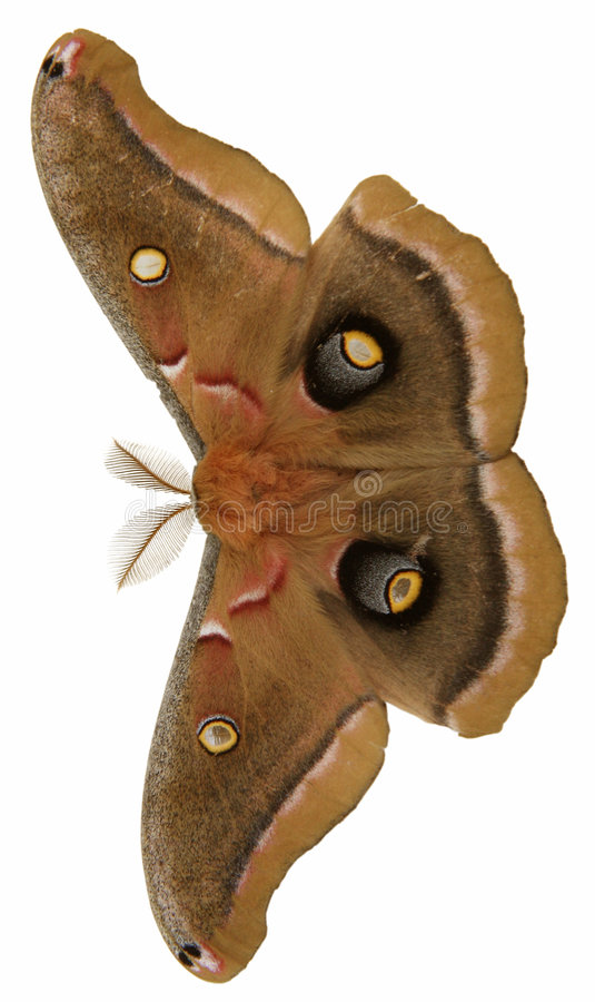 Download Giant moth stock photo. Image of beautiful, brown, object - 189488