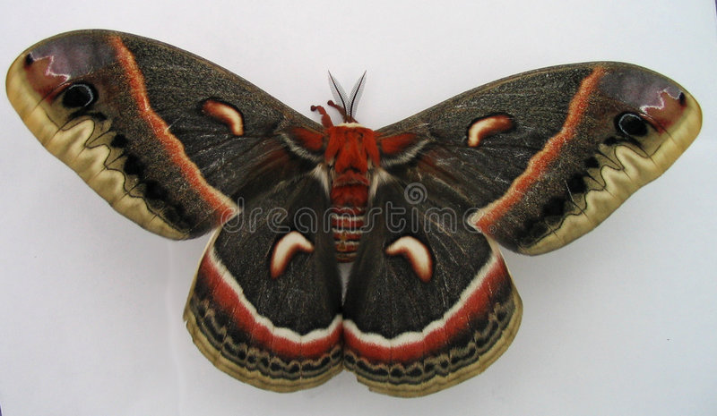 Giant Moth royalty free stock photography