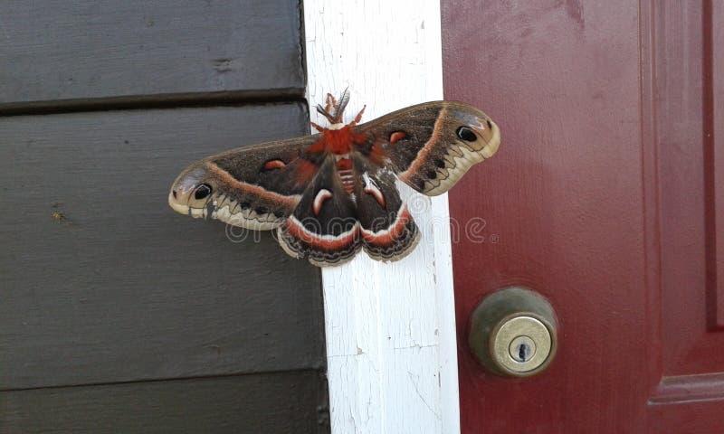 giant moth στοκ εικόνα με δικαίωμα ελεύθερης χρήσης