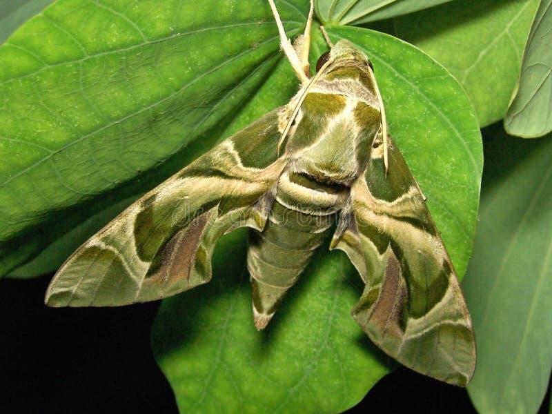 Giant Moth stock photo