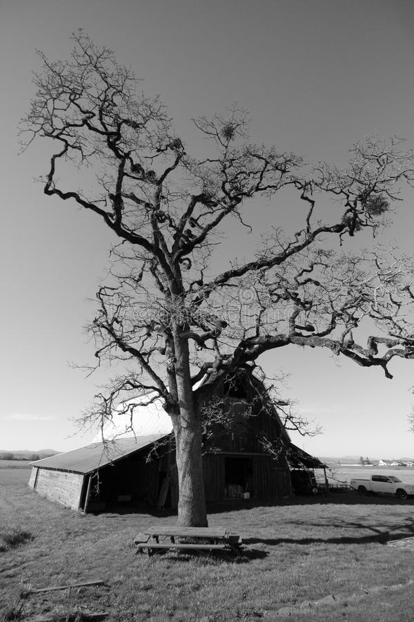 Giant Oak and Old Barn royalty free stock photo