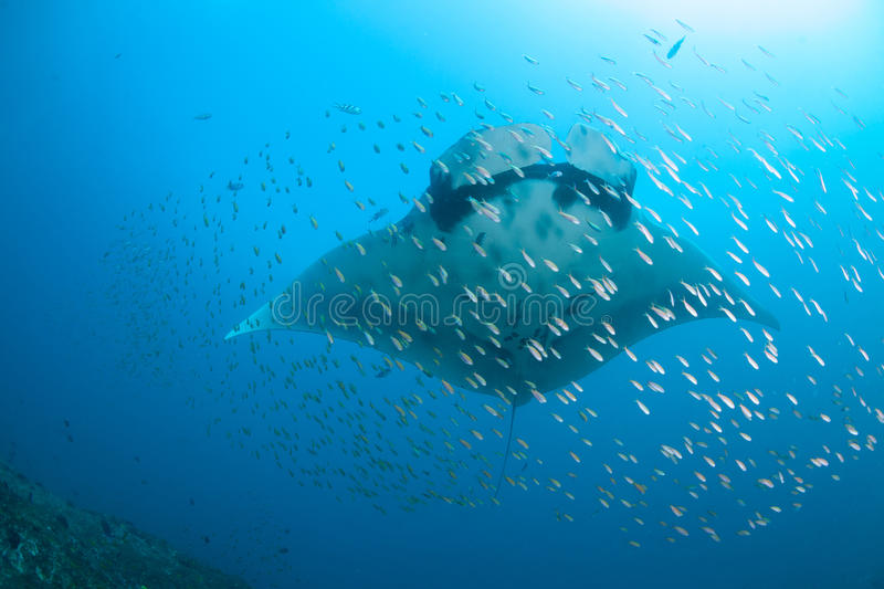Download A Giant Ocean Manta Ray Surrounded By Fish Stock Image - Image of goldies, biodiversity: 63489379