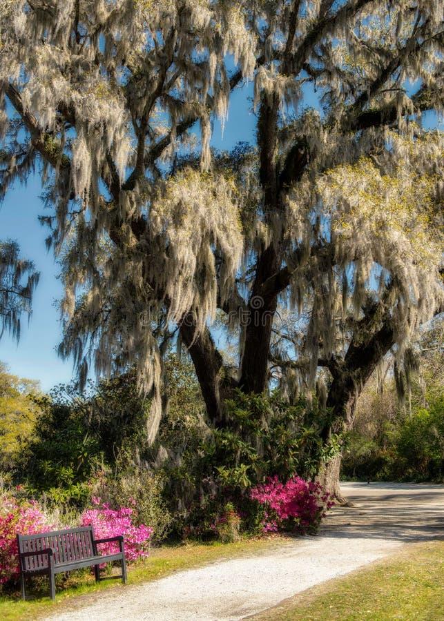 Giant Live Oak Middleton Plantation Charleston, South Carolina stock photo