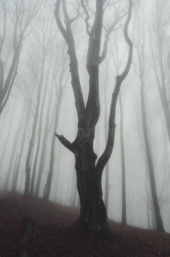 Giant old tree in mysterious forest stock images