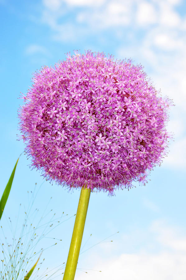 Giant onion. In the sunshine from the frog perspective stock images