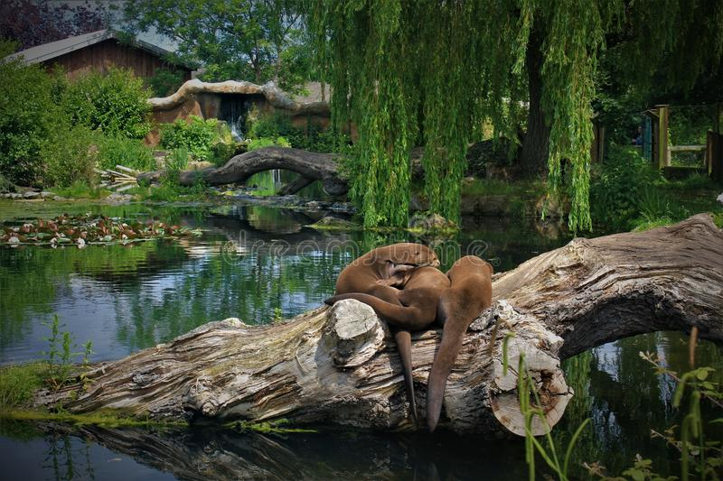 Giant Otter in lovely Chester Zoo. Three otters sitting on the wood at a lake. Giant otters are an endangered species from South America. It is the biggest of royalty free stock photography