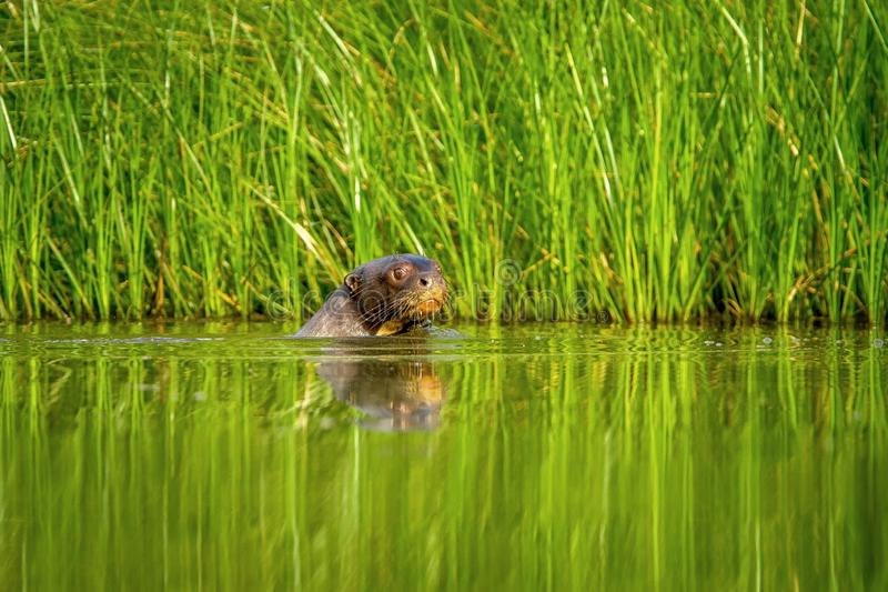 Giant otter Pteronura brasiliensis swims in lake in the peruvian Amazon jungle, Peru, green background. Natural wildlife scene, watter animal, very inteligent stock image