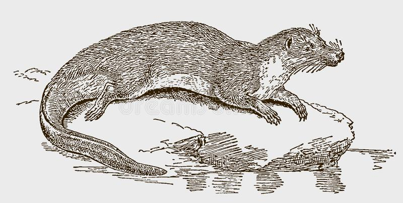Giant otter shrew potamogale velox lying on a rock near a pond. Illustration after an engraving from the 19th century royalty free illustration