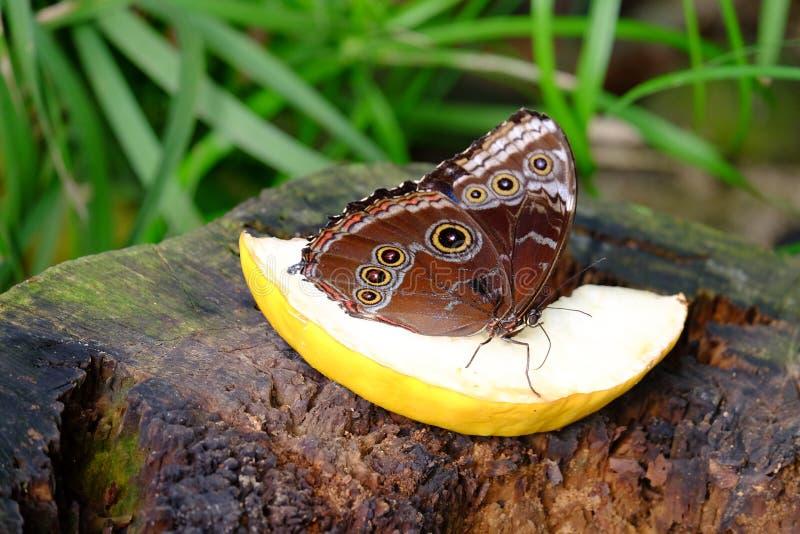 Giant Owl  butterfly. Caligo Mennon. Chester zoo royalty free stock photos